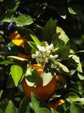 Oranje bloesem Stock Afbeeldingen