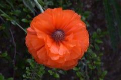 Oranje bloesem royalty-vrije stock fotografie