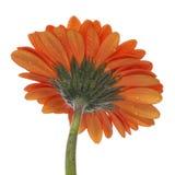 Oranje Bloesem Gerber Stock Fotografie