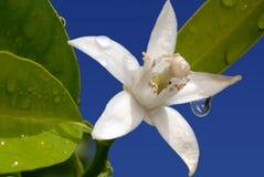 Oranje Bloesem Speciaal op Blauw Royalty-vrije Stock Foto