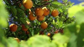Oranje bomen stock videobeelden