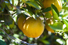 Oranje bomen Stock Foto's