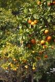 Oranje bomen bij de lente in Italië stock foto