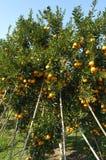 Oranje bomen met vruchten Royalty-vrije Stock Foto's