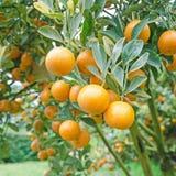 Oranje bomen met vruchten op aanplanting Royalty-vrije Stock Afbeeldingen