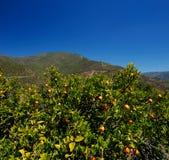 Oranje bomen met vruchten in zuidelijke Andalusia, Spanje op een duidelijke zonnige dag Royalty-vrije Stock Afbeeldingen