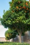 Oranje bomen in Spaanse stad Royalty-vrije Stock Afbeeldingen