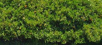Oranje Bomenpanorama Als achtergrond Stock Afbeelding