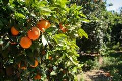 Oranje boom stock foto's
