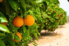 Oranje boom Stock Afbeelding