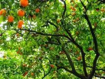 Oranje Boom Royalty-vrije Stock Foto