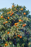 Oranje Boom Royalty-vrije Stock Foto's