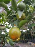 Oranje Boom Stock Foto