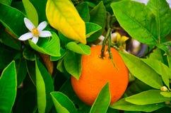 Oranje boom in bloesem royalty-vrije stock afbeeldingen