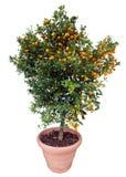 Oranje boom die op wit wordt geïsoleerdl Stock Foto's