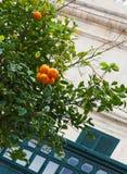 Oranje boom en groene blinden op Maltese straat Stock Afbeelding