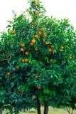 Oranje boom en sinaasappelen stock foto's