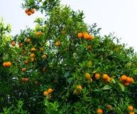 Oranje Boom fruit van tuin Royalty-vrije Stock Afbeeldingen