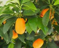 Oranje Boom in Heraklion Kreta Griekenland stock foto's