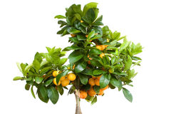 Oranje Boom met Geïsoleerdf Fruit Royalty-vrije Stock Foto