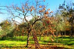 Oranje boom met ladder royalty-vrije stock afbeeldingen
