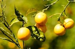 Oranje boom met vage groene achtergrond Royalty-vrije Stock Afbeeldingen