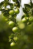 Oranje boom met vruchten Royalty-vrije Stock Afbeelding