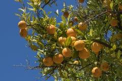 Oranje Boom in Napa-Vallei Stock Fotografie