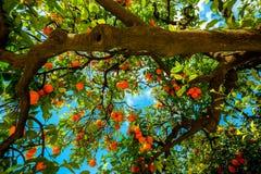 Oranje boom in Sevilla Spanje Royalty-vrije Stock Foto
