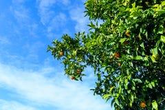 Oranje boom in Vigo - Spanje Royalty-vrije Stock Afbeeldingen