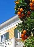 Oranje Boom in Werf Royalty-vrije Stock Afbeeldingen