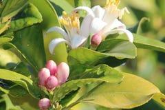 Oranje Boombloesems stock afbeeldingen