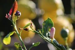 Oranje boombloesems en bladeren Royalty-vrije Stock Afbeelding