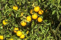 Oranje Boomgaard stock afbeeldingen