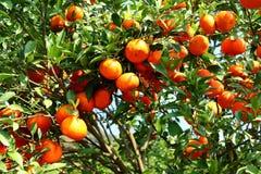 Oranje boomgaard Royalty-vrije Stock Fotografie
