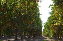 Oranje Boomgaard Royalty-vrije Stock Afbeeldingen