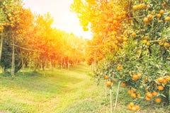 Oranje boomgaard in ochtend Stock Foto