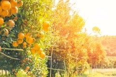 Oranje boomgaard in ochtend Stock Foto's