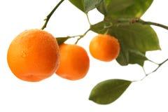 Oranje boomtak Royalty-vrije Stock Foto's