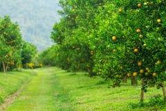 Oranje bosjes Stock Foto