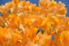 Oranje bougainvillea Stock Afbeelding