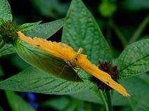 Oranje Butterlfy Stock Foto