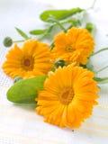 Oranje calendula Royalty-vrije Stock Afbeeldingen
