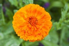 Oranje calendula Royalty-vrije Stock Foto