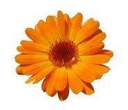 Oranje calendula die op wit wordt geïsoleerdr Royalty-vrije Stock Afbeeldingen