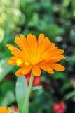 Oranje calendulabloem in de tuin Stock Foto