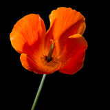 Oranje Californische papaver Stock Afbeelding