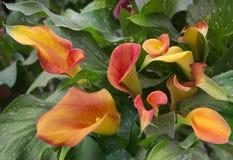 Oranje calla lelie met vele bladeren royalty-vrije stock fotografie