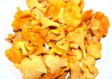 Oranje cantharelpaddestoelen Stock Fotografie