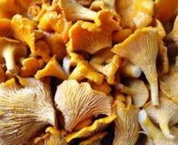 Oranje cantharelpaddestoelen Royalty-vrije Stock Foto's